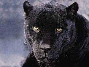 panther_3