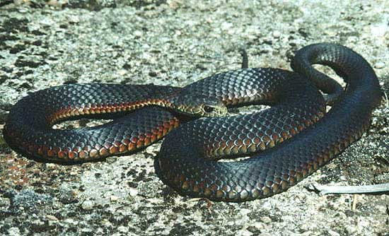 snakes on a drain 39 snake free 39 nz found to have aussie. Black Bedroom Furniture Sets. Home Design Ideas